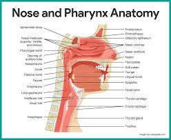 respiratory system anatomy and physiology u2022 nurseslabs