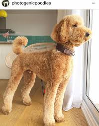 standard poodle hair styles pin by brent cooper on poodle puppies pinterest poodle