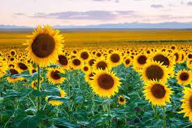 colorado sunflowers and editing tutorial casey mac photo