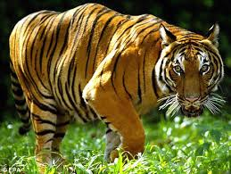 fights tiger with ladle in malaysian jungle and saves