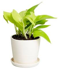 Indoor Plants That Don T Need Sun 25 Best Best Office Plants Ideas On Pinterest Best Plants For