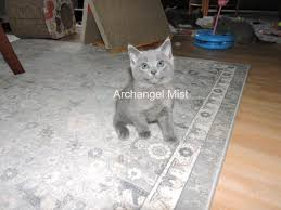 Cats Resume Archangel Mist Traditional Russian Blue Cat Home Of The Russian Blue