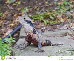 australian lizard in a garden stock photo image 37674370