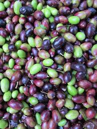 italian olives italian research sidebar olive harvest science buzz
