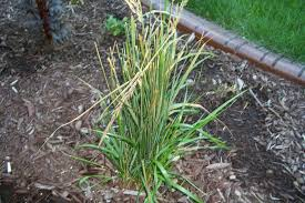need help with ornamental grass disease id lawnsite