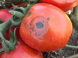 Common Plant Diseases - diagnosing and controlling fungal diseases of tomato in the ho