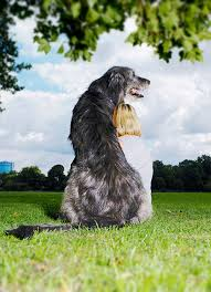 afghan hound weight irish wolfhound dog breed information pictures characteristics