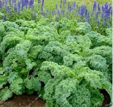 get cheap flowering kale seeds aliexpress alibaba