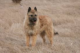 belgian shepherd south africa 10 breeds of dog you u0027ve probably never heard of