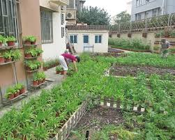 green thumbs turn veggie patches into u0027edible gardens u0027 shanghai