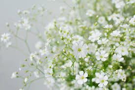 baby s breath flowers baby s breath flowers stock photo image of flower airy 41684820