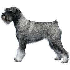 schnauzer hair styles breed specific hairstyles