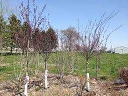 purple leaf plum trees hoosier home garden