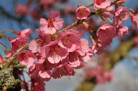 cherry trees suitable for small gardens rhs gardening
