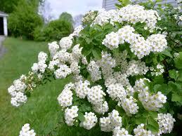 white flower bush u2013 my wall