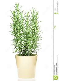 No Light Plants Rosemary Plant In A Light Yellow Pot Royalty Free Stock Image