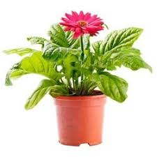 gerbera plant gerbera plant find wholesale price for gerbera plant in india