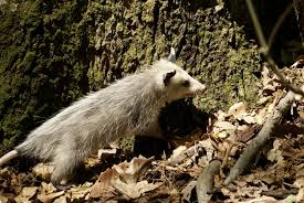 the truth about opossums city wildlife