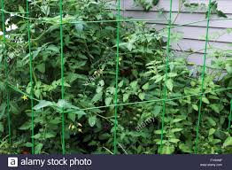backyard cherry tomato plant in late summer with fruit ripening on