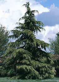 deodar cedar tree tlc garden centers