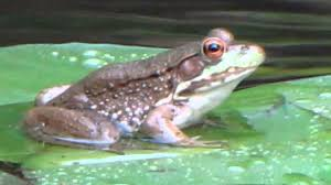 frog on a lily pad youtube