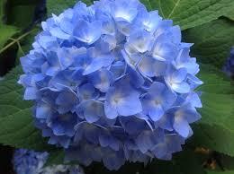 hydrangeas flowers blue hydrangea flower 鲜花 hydrangea flower
