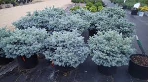 blue spruce dazzling globe blue spruce knecht s nurseries landscaping