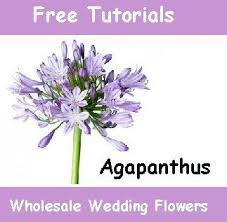 fresh flowers in bulk 22 best agapanthus wedding flowers images on wedding