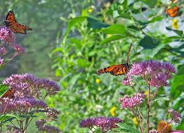 monarch butterflies on flowers free stock photo public domain