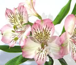 alstroemeria flower october flower spotlight alstroemeria