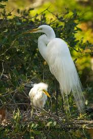 222 best egret images on pinterest beautiful birds animals and