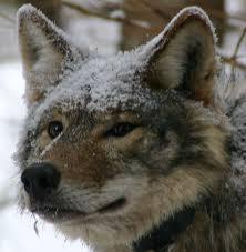 eastern wolf earth rangers wire