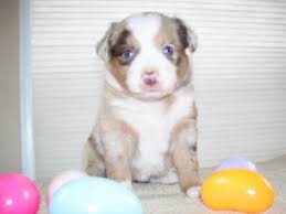 1 month old australian shepherd pink nose on pup