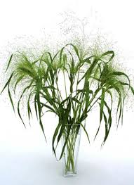 ornamental grass seed from jungleseeds