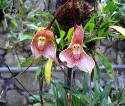 monkey orchids monkey orchids