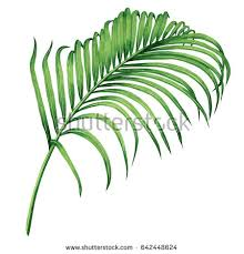 watercolor painting coconutpalm leafgreen leaves isolated stock
