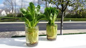 Patio Grow House How To Re Grow Romaine Hearts August U0027s Edible Patio Garden Tip