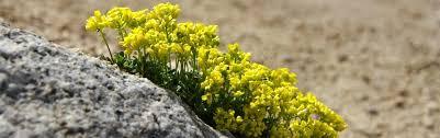 nevada native plants botany program nevada natural heritage program
