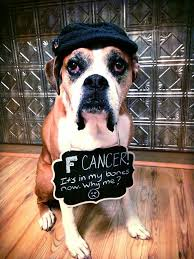 boxer dog 2015 diary romeo the boxer says goodbye after finishing his bucket list