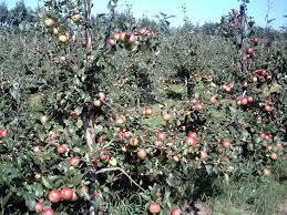 growing fruit trees hints and tips realenglishfruit