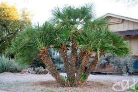 mediterranean fan palm tree mediterranean fan palm chamaerops humilis arizona living