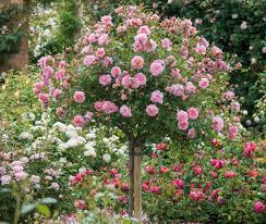underplanting roses companion plants for roses