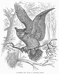 great horned owl line drawing draw8 info