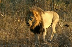 male lion wallpapers mapogo lions home facebook