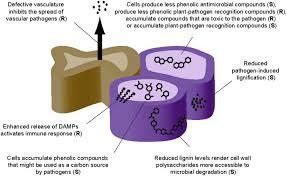 cell wall diagram diagram gallery wiring diagram