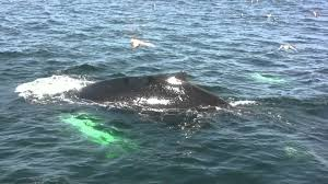 boston ma best whale watching tours in boston massachusetts youtube