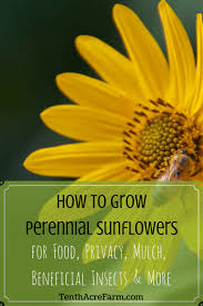 how to grow perennial sunflowers for food privacy mulch