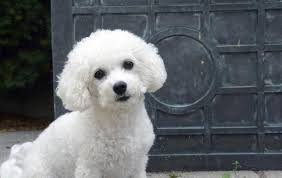 bichon frise breed standard how to care for the coat of a bichon frise dog care the daily