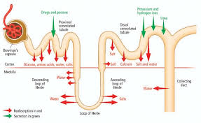 The Human Body Picture Chapter 37 The Human Urinary System Leavingcertbiology Net