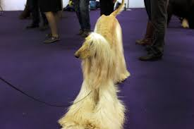 afghan hound ottawa westminster dog show 2015 results hound toy non sporting and